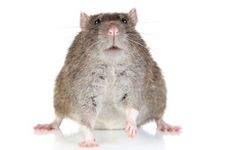 動物たちに蔓延する「肥満」のナゾを解く:研究結果