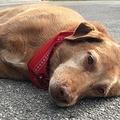 飼い主の命を奪った事故現場に倒れ込んだ愛犬(画像はfoxnews.comのスクリーンショット)