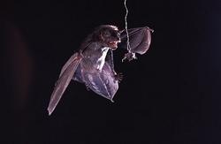 コウモリのソナーを、音で妨害する蛾(動画)
