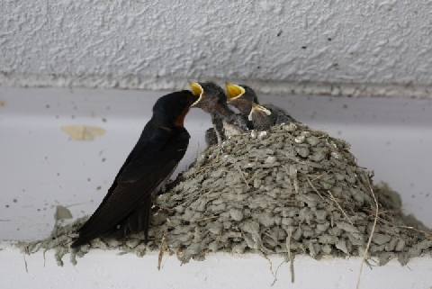 ツバメ の 巣 壊す