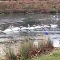 氷を割って湖から脱出する白鳥の隊列が優雅