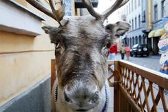 ヘルシンキ市内の土産屋の前に置かれていたトナカイの剥製(撮影:佐谷恭)