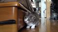 美人猫のカワイすぎる行動が話題