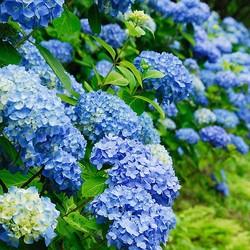 なぜお寺には紫陽花が多いの?——この季節、鎌倉へ足を運んでみませんか