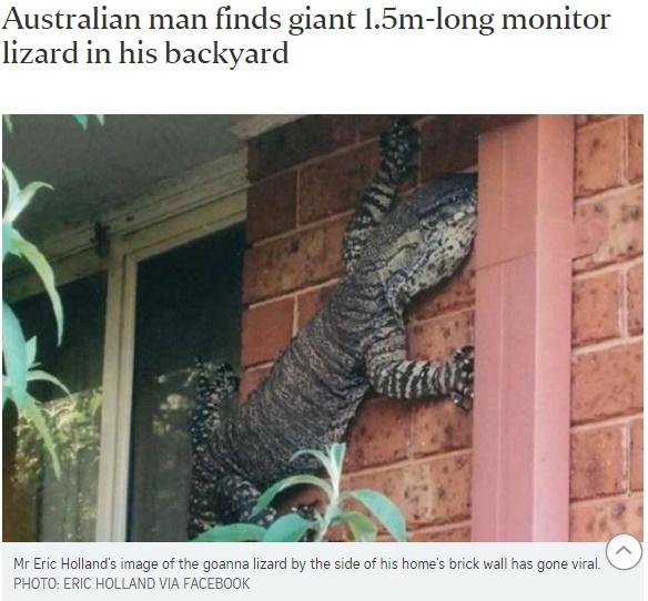 [画像] 【海外発!Breaking News】体長1.5メートルの巨大トカゲ、豪・民家に現れ家人は仰天!