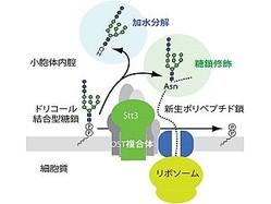 理研など、「オリゴ糖転移酵素」が遊離糖鎖を生成する仕組みを解明