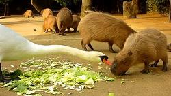 カピバラvs白鳥の戦い! 恐怖の白鳥からエサを奪う臆病カピバラ