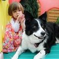 コリー犬が2歳女児の白血病を嗅ぎ分ける(出典:http://www.mirror.co.uk)