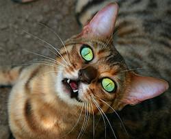 靴下のにおいを嗅いで猫の口が半開きになる理由