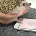 iPhone指紋認証はハリネズミの手でも可能だった ネット上で動画が公開