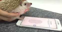 iPhoneの指紋認証、ハリネズミの手でも登録できることが
