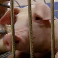 クローン豚を大量生産する工場