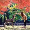 日本の古都・奈良は中国人観光客にも人気の観光地。特に奈良公園にいる鹿と触れ合うことを楽しみにやって来る人も少なくないが、知識不足から思わぬケガをする人も多いようだ。(イメージ写真提供:123RF)