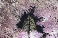 東京ミッドタウンの2014年桜ライトアップ