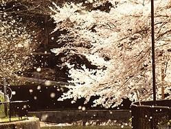 天気予報でよく使われる「花散らし」は実は隠語?ミヤネ屋指摘で話題