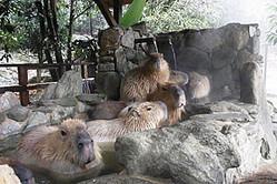 長崎県・長崎バイオパークで冬の恒例イベント「カピバラの露天風呂」を公開
