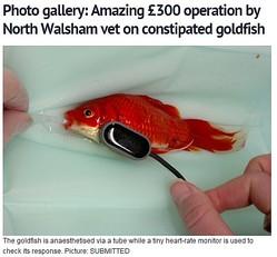 あなたは500円で買える金魚に5万円の医療費を支払える?(画像はedp24.co.ukのスクリーンショット)