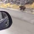 野性のクマの「全力疾走」がかっこよすぎ
