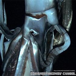 NHKなど、深海に生息するダイオウイカの様子を撮影することに成功