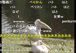 衝撃映像! ペリカンが生きた鳩を丸飲みして食べる動画