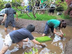 10日、新宿区・早稲田大学大隅庭園で田植えを体験するNPOメンバーと学生。(撮影:比嘉杏里)
