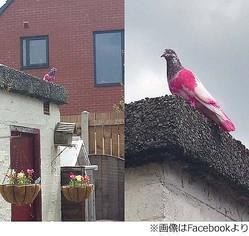 """首から下がピンク色のハト出現、ひときわ目立つ""""異端児""""に住民騒然。"""