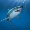異変? 日本近海にサメがうようよ