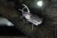 木にとまっている「メタルオオカブト」