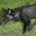 イギリスで全身真っ黒なキツネを発見(画像はdailymail.co.ukのスクリーンショット)