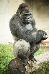 イケメンすぎると話題になった東山動植物園のアイドルゴリラ「シャバーニ」
