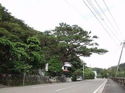 2006年撮影の西郷松(龍郷町提供)