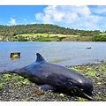 海岸に打ち上げられたイルカ(画像は『ARY News 2020年8月28日付「Dying mother dolphin struggles to save baby in Mauritius lagoon after oil spill」』のスクリーンショット)