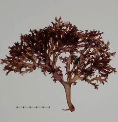 リュウキュウフノリ(Gloiopeltis compressus)。(画像:神戸大学発表資料より)