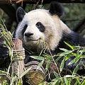 日本のパンダは毛の白い部分はしっかく白く全体に清潔なように見える。(イメージ写真提供:123RF)
