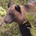 観光客がヒグマ見学 渋滞も発生