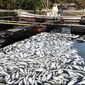 赤潮で全滅した東風浦さんの養殖トラフグ(2020年9月20日、山口県下松市の笠戸島、東風浦さん提供)