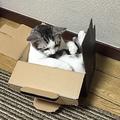 箱にみっちり収まる猫が可愛い「自分がまだ小さいつもり」