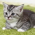 結局一番かわいい猫種ランキング