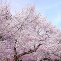 花見の季節にこんな呼びかけが…(画像はイメージ)