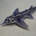 激レア深海生物のゾウギンザメ ニコ生での48時間生中継が決定