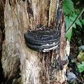 木に刺さった「オレオ」のような物体が話題 正体はキノコか