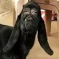 インドで誕生した人面ヤギ(画像は『LADbible 2020年1月23日付「Footage Emerges Of Mutant Goat With Human-Like Face」』のスクリーンショット)
