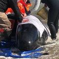 オーストラリア南部タスマニア島マッコーリーハーバーで、打ち上げられたクジラを助けようとする人たち(2020年9月22日撮影、同月23日提供)。(c)AFP PHOTO / TASMANIA POLICE