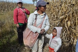 トウモロコシを収穫する農業労働者の親子