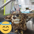 洗い物中に飛んできたフクロウ 水浴びを楽しみハッスル