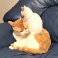 子猫にいきなり乗っかられた茶トラの猫が「想定外の出来事」に固まってしまう動画がTwitterでかわいすぎると話題を呼んでいる(提供画像)