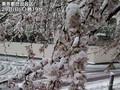 東京は桜満開後に積雪 1969年以来51年...