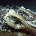 深海1000メートルの海底にあるクジラの死骸に様々な生物が群がる/Ocean Exploration Trust and NOAA ONMS
