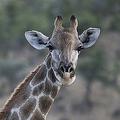 キリン。ナミビアの首都ウィントフーク近くの動物保護区で(2015年5月15日撮影、資料写真)。(c)MARTIN BUREAU / AFP
