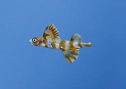 同じトビウオでも稚魚の姿は全然違う!「ツクシトビウオの稚魚」